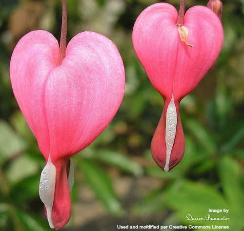 two-bleeding-hearts