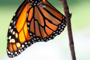 Monarch hanging upside-down from a twig
